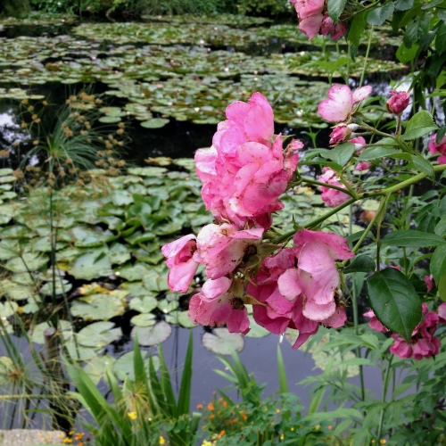 Giverny Claude Monet garden 15 water lily